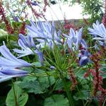 Agapanthus (Funnel group) - Afrikaanse lelie
