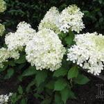Hydrangea paniculata 'Levana' - Hortensia - Hydrangea paniculata 'Levana'