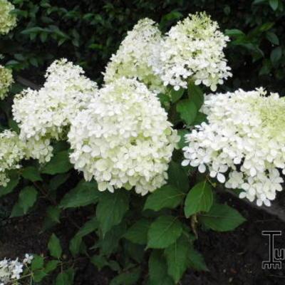 Hydrangea paniculata 'Levana' -