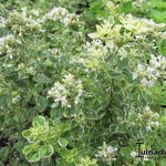Origanum vulgare 'Country Cream' - Engelse Marjolein, Wilde marjolein, Oregano