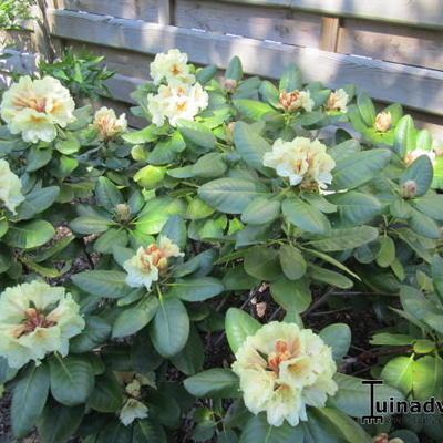 Rhododendron 'Goldbukett' -