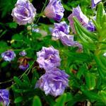Campanula cochleariifolia 'Blue Baby' - Campanula cochleariifolia 'Blue Baby' - Klokjesbloem