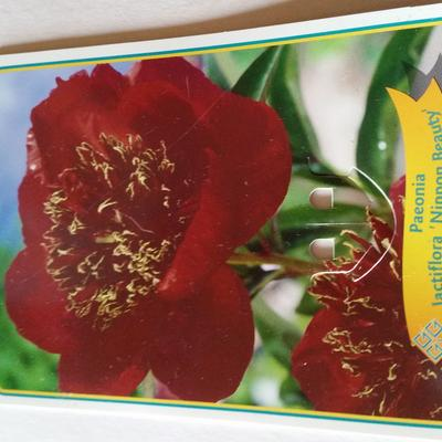 Paeonia lactiflora 'Nippon Beauty' -