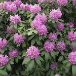 Rhododendron ponticum - Pontische rododendron - Rhododendron ponticum