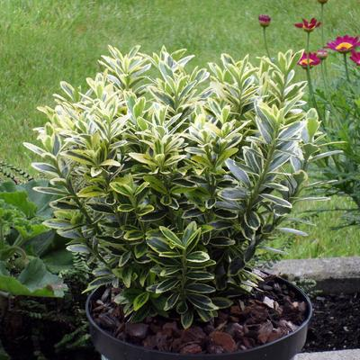 Euonymus japonicus 'Microphyllus Aureovariegatus' -