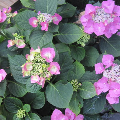Hydrangea macrophylla 'Taube' -