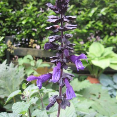 Salvia azurika -