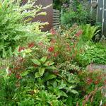 Fuchsia magellanica var. gracilis 'Tricolor' - Bellenplant - Fuchsia magellanica var. gracilis 'Tricolor'