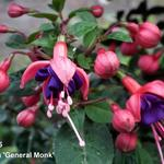 Fuchsia 'General Monk' - Bellenplant