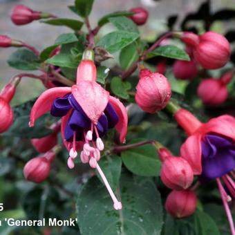 Fuchsia 'General Monk'