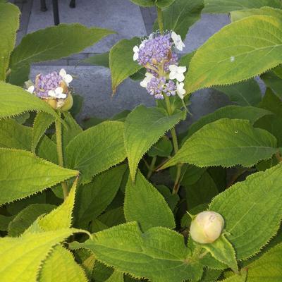 Hydrangea involucrata -