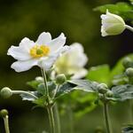 Anemone x hybrida 'Honorine Jobert' - Japanse anemoon / herfstanemoon - Anemone x hybrida 'Honorine Jobert'