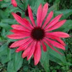 Echinacea 'Solar Flare' -