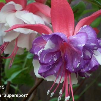 Fuchsia 'Supersport'