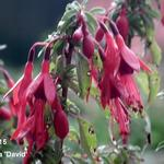Fuchsia 'David' - Bellenplant