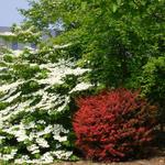Viburnum plicatum 'Cascade' - Japanse sneeuwbal