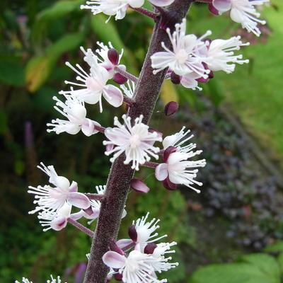 Actaea simplex 'James Compton' -
