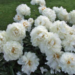 Paeonia lactiflora 'Bowl of Cream' - Pioen