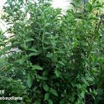 Stevia rebaudiana - Stevia, Honingkruid, Stepa, Suikerplantje - Stevia rebaudiana