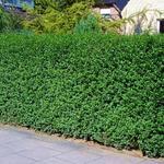 Ligustrum vulgare 'Atrovirens' - Liguster - Ligustrum vulgare 'Atrovirens'