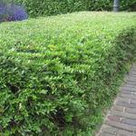 Ligustrum vulgare 'Lodense'  - Liguster - Ligustrum vulgare 'Lodense'