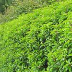 Prunus lusitanica  - Portugese Laurier - Prunus lusitanica