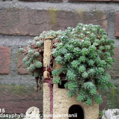 Sedum dasyphyllum subsp. granatense  -