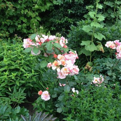 Rosa 'Astrid Lindgren'  -