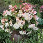 Begonia odorata 'Angelique'   - Begonia odorata 'Angelique'   - Hangbegonia