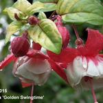 Fuchsia 'Golden Swingtime' - Bellenplant