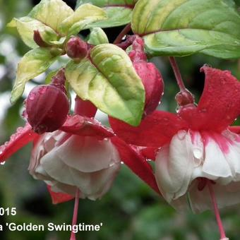 Fuchsia 'Golden Swingtime'