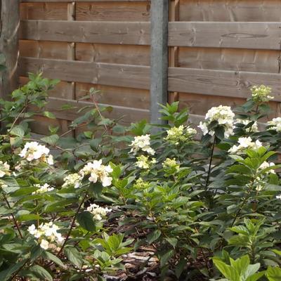 Hydrangea paniculata 'Dart's Little Dot' -