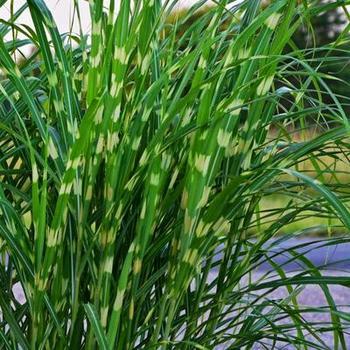 prachtriet miscanthus sinensis 39 strictus 39 planten online kopen tuinadvies. Black Bedroom Furniture Sets. Home Design Ideas