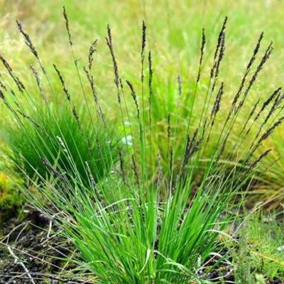 Molinia caerulea - Pijpenstrootje - Molinia caerulea
