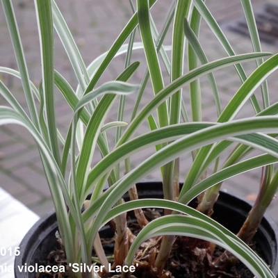 Tulbaghia violacea 'Silver Lace'  -