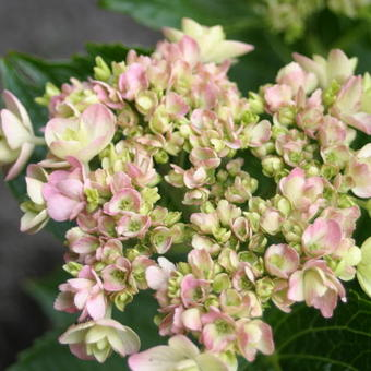 Hydrangea macrophylla ENDLESS SUMMER 'Twist-n-Shout'