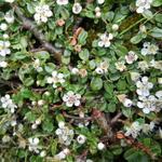 Cotoneaster  microphyllus - Kleinbladige dwergmispel - Cotoneaster  microphyllus