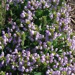 Prunella grandiflora 'Loveliness' - Bijenkorfje/Heelkruid - Prunella grandiflora 'Loveliness'
