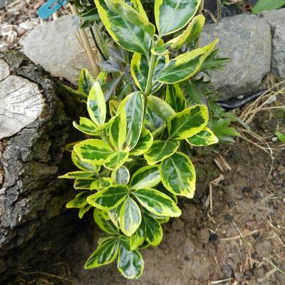 Euonymus japonicus 'Ovatus Aureus'  -