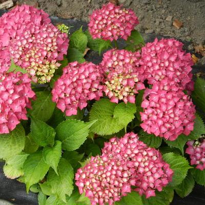 Hydrangea macrophylla 'Glowing Embers' -