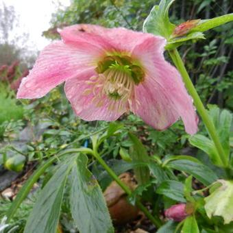 Nieskruid Kerstroos Helleborus Purpurascens Planten Online Kopen