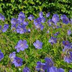 Geranium himalayense 'Baby Blue' - Ooievaarsbek - Geranium himalayense 'Baby Blue'