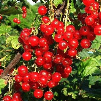 Ribes rubrum 'Red Poll