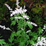 Artemisia lactiflora 'Elfenbein' - Alsem