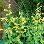 Agastache aurantiaca 'Sunset Yellow' - Dropplant