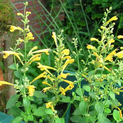 Agastache aurantiaca 'Sunset Yellow' -