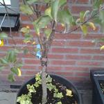 Malus domestica 'Little Jonathan' - Appel, dwergappelboom