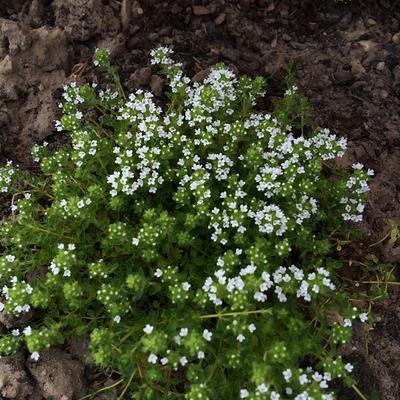 Thymus praecox 'Albus' -