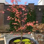 Acer palmatum 'Momoiro-koya-san' - Acer palmatum 'Momoiro-koya-san' - Japanse esdoorn
