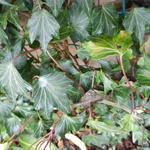 Hedera helix 'Green Ripple' - Klimop - Hedera helix 'Green Ripple'